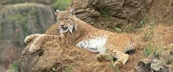 Bilderesultat for iberian lynx