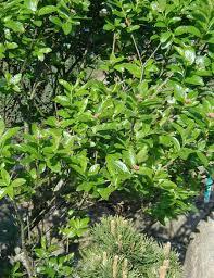 Sorbus chamaemespilus - Wikipedia, la enciclopedia libre