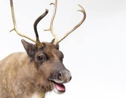 Image result for santa reindeer