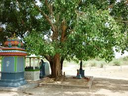 Image result for அரசமரம்