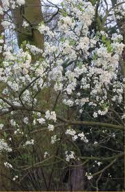 Prunus domestica - Wikipedia