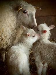 Τι έθιμο έχουν οι κτηνοτρόφοι το Πάσχα;