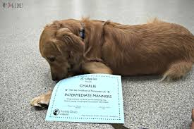 dog training classes at lollypop farm graduating golden charlie his dog diploma after graduating from intermediate manners class at lollypop farm