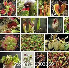 <b>2015 New 200pcs</b>/<b>lot</b> Bonsai Scarlet Sarracenia seeds Carnivorous...
