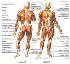 muscle diagram human body gif the human body   cloudpixmuscle diagram human body gif the human body