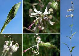 Silene nutans L. subsp. nutans - Sistema informativo sulla flora delle ...