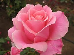 Image result for images of beautiful roses hd