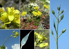 Draba aizoides L. subsp. aizoides - Portale sulla flora del Parco ...