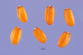 Plants Profile for Descurainia sophia (herb sophia)