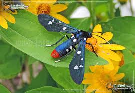 Polka Dot <b>Wasp Moth</b> - <b>Insect</b> Identification