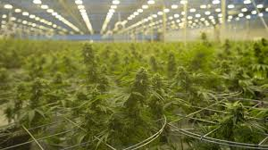 Легализация марихуаны — NETOLKO.NEWS