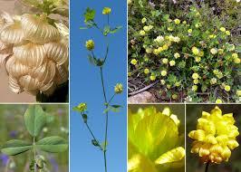Trifolium campestre Schreb. - Portale sulla flora delle Saline di Cervia