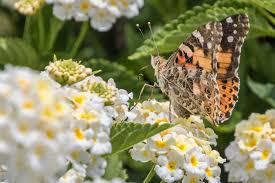 A Delicate Touch | A <b>Painted Lady</b> butterfly on some Lantana ...