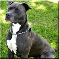 Image of American Pit Bull Terrier