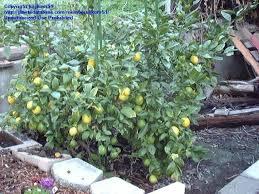 lemon tree x: meyer lemon bush  yrs old staked to keep lemons off the ground