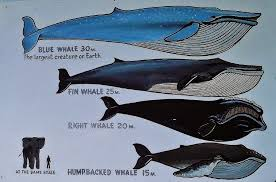 Image result for elephant is the same as the tongue of: a blue whale.