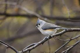 nerdy for birdy tufted titmouse