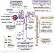 search  google search and galleries on pinterestnephron function   what are the functions of the different parts of the nephron