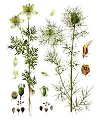 Nigella sativa - Wikipedia