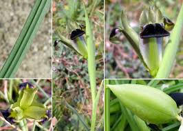Hermodactylus tuberosus (L.) Mill. - Sistema informativo sulla flora ...