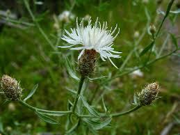 Centaurea diffusa - Michigan Flora