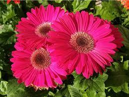 Image result for gerbera daisies