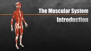 <b>The Muscular System</b> Explained In 6 Minutes - YouTube