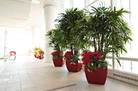 Ficus Bushes Indoor Plants Chicago