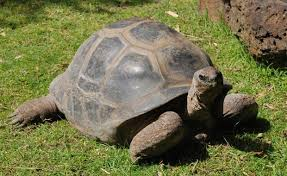 Image result for giant tortoise pictures