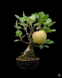 apple on a bonsai tree bonsai tree