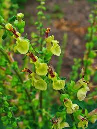 Teucrium scorodonia – Wikipédia, a enciclopédia livre