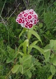 Dianthus barbatus - Michigan Flora
