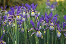 Iris Spuria (Blue Iris)