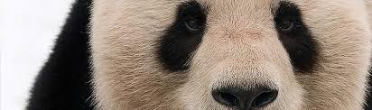 Giant <b>panda</b> | <b>WWF</b>