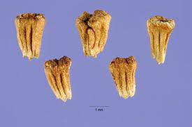 Plants Profile for Anthemis arvensis (corn chamomile)