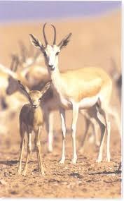 اجمل الحيوانات ويقال (أصْفىَ من عين الظبي) Images?q=tbn:ANd9GcS68s_d0yYt_78UJYc-xqT-0ezTjgA2qCc7I-Lwyu-Je8uyXkbr