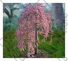 20pcs bag fountain weeping cherry tree diy family garden shrub tree cherry plant ornamental plant bonsai