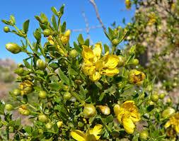 Zygophyllaceae - Wikipedia