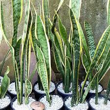 Resultado de imagem para Espada-de-São-Jorge (Sansevieria trifasciata)