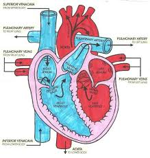 images of easy diagram of the heart   diagramseasy diagram of the heart aof com