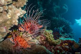 coral sea colours photo essay great barrier reef lion fish coral sea colours