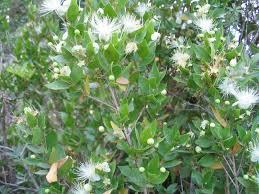 Myrtaceae - Wikipedia