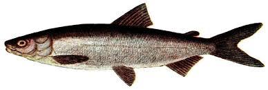 Common whitefish