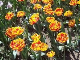 Книги и библиотеки » Blog Archive » О тюльпанах и символах