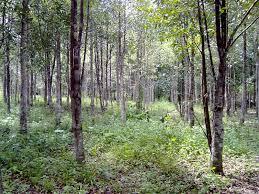 Image result for pohon gaharu