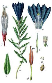 Gentiana pneumonanthe Marsh Gentian PFAF Plant Database