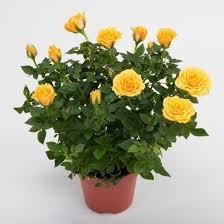 <b>Роза декоративная</b> комнатная: рекомендации по уходу
