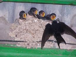 Resultado de imagen de nido de golondrina