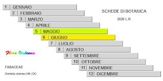 Genista cinerea [Ginestra cenerina] - Flora Italiana