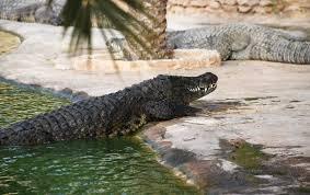 Em batalha pela vida, mãe salva filho das garras de crocodilo